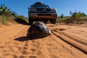 Madagaskar ein Land mit vielen Facetten: Schildkröten