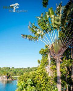 Der Baum der Reisenden im Lokobe Nationalpark im Norden von Madagaskar