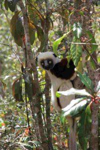 Coquerel's sifaka (Propithecus coquereli) im Schutzgebiet COMATSA Nord in Madagaskar