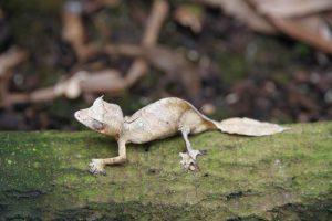 Gecko im Spezialreservat Manongarivo