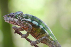 Ein grosses Abenteuer: Chamäleons in Madagaskar