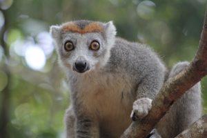 Ein grosses Abenteuer: Lemuren in Madagaskar