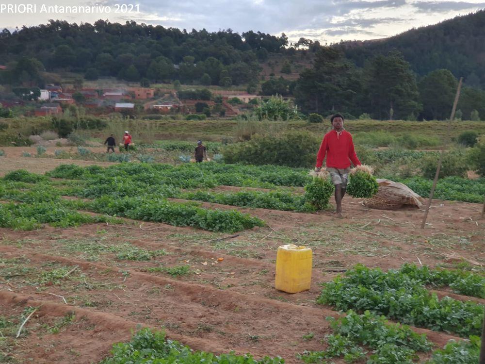 Gemüse und Salatfelder in Madagaskar